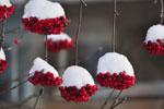 Sorbus aucuparia 'Edulis' med snöhättor