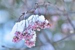 Sorbus forrestii med rosa bär på vårvintern