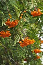 Sorbus commixta 'Birgitta'