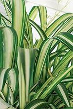 Ampelliljan är grön och frodig