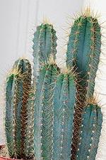 Kaktusen är en perfekt växt för den stressade