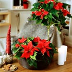 Julstjärna (Euphorbia pulcherrima)