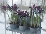 I en krukhållare av zink trivs irisen (Iris reticulata).
