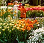 Välj tulpaner med olika blomningstid så kan blomsterglädjen bli mycket lång.