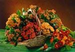 Bland höstens praktfulla blommor märks Kalanchoë i nya terracottafärger och andra varma nyanser. I buketten finns krysantemum och guldgul sidenört (Asclepias).