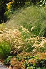 Silvergräs, jättetåtel 'Transparent'