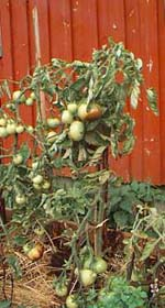 Ledsna tomatplantor med brunfläckiga tomater