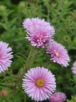 Aster novae-angliae 'Rosa Sieger'