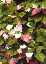 Kameleontbuske, Actinitia kolomitka