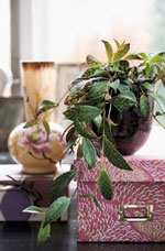 Aeschynanthus marmoratus. Ska stå på ljus plats och vattnas måttligt. Växten ska torka ut mellan vattningarna. Säsong hela året.