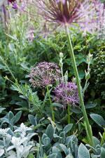 Stäpplök, Allium cristophii