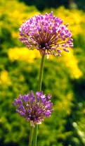 Allium aflatunense, kirgislök