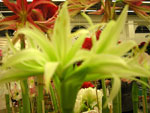 Amaryllis 'Evergreen'