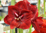 Amaryllis 'Grand Cru'