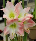 Amaryllis 'Pink Accent'