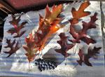 Blad av Quercus coccinea, rubra, velutina