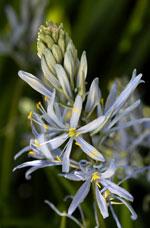 Blek stjärnhyacint, Camassia cusickii