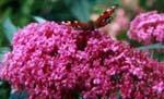 Buddleja davidii, fjärilsbuske, som framgår av bilden...