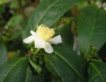 Camellia sinensis, tebuskens blomma