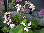 Saxifraga fortunei 'Cheap Confections'