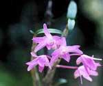 Dendrobium moliniforme