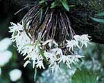 Dendrobium moliniforme alba [vit form av den ovan]