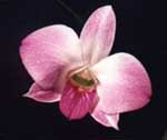 Dendrobium phalaenopsis-hybrid