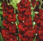 Gladiolus x gandavensis, Grandiflora-hybrid, 'Espresso'