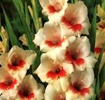 Gladiolus x gandavensis, Grandiflora-hybrid, 'Fiorentina - Mary Housley'