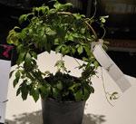 Gynostemma pentaphyllum, odödlighetsört (Kees Stolker)