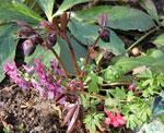 På den första bilden syns några fröplantor, varav den ena till höger är väldigt lik 'George Baker', den andra är lik 'Beth Evans'. De har fröat in sig i Helleborus x hybridus 'Black', en av de sista julrosorna till att börja blomma hos mig. Blomman är enkel och helsvart, även bladen är nästan svarta.