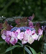 Purpurhortensia, Hydrangea serrata 'Grayswood'