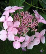 Trädgårdshortensia, Hydrangea macrophylla 'La Marne'