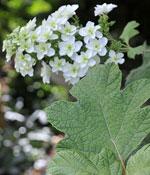 Flikhortensia, Hydrangea quercifolia 'Snowflake'