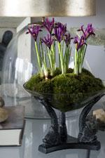 Dvärgiris Iris reticulata 'Harmony' Group