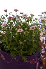 Krysantemum 'Pico', rosa