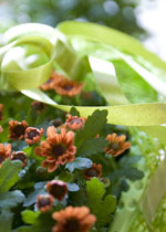 Krysantemum 'Pico'