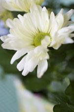 Krysantemum, Chrysantemum x morifolium