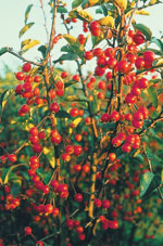 Prydnadsapel 'Adirondack', Malus 'Adirondack', frukt
