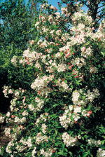 Prydnadsapel 'Everest', Malus 'Everest', blommor