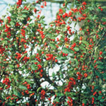 Prydnadsapel 'Everest', Malus 'Everest', frukt