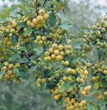 Prydnadsapel 'Golden Hornet', Malus x zumi 'Golden Hornet', frukt