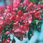 Purpurapel, Malus 'Liset', blommor