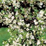 Bukettapel, Malus toringo var. sargentii, blommor