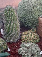Mammillaria är det största kaktussläktet