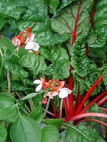 Mangold och blomsterböna