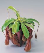 Kannranka, Nepenthes