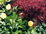 Paeonia mlokosewitschii och japansk lönn