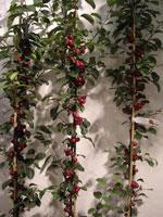 Pelaräpple Malus 'Georgeous' (Salomensens Plantskole)