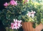 Pelargonium 'Rose Silver cascade' och 'Retahs Chrystal'